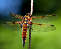 Four-spotted chaser (Libellula quadrimaculata) (3)
