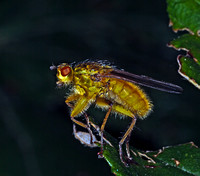Yellow Dung-fly (Scathophaga stercoraria) (3)