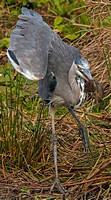 Heron and Water Vole (2)