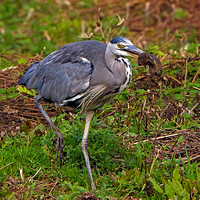 Heron and Water Vole (3)