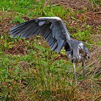 Heron and Water Vole