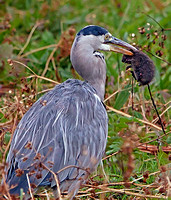 Heron and Water vole (4)