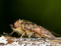 Horse Fly (Tabanus sudeticus) (2)