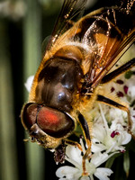 Hover Fly (Myathropa florae)