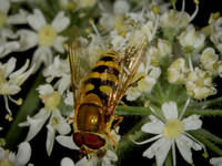 Hover-fly (Syrphus vitripennis)