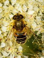 Hover-fly (Eristalis rupium)