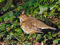 Song Thrush (Turdus philomelos) (3)