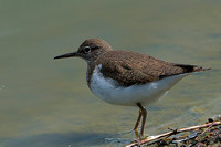 Common Sandpiper (Actitis hypoleucos) (5)