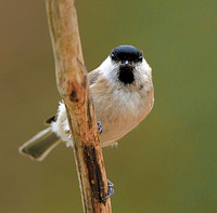 Willow Tit (Poecile montanus) (2)