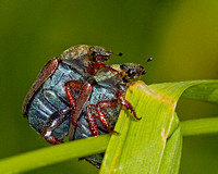 Summer Chafer (Amphimallon solstitialis)