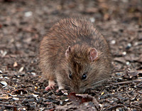 Common Brown Rat (Rattus norvegicus) (2)