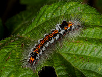 Caterpillar of the Yellow-tailed moth  (Euproctis similis (Lymantriidae)