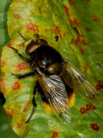 Hoverfly (Volucella volucellini)