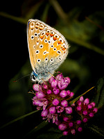 Common Blue (Polyommatus icarus) (2)