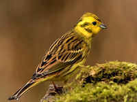 Yellowhammer (Emberiza citrinella) (13)