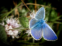 Common Blue (Polyommatus icarus) (3)