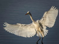 Great White Egret (Ardea alba) (6)