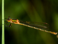 Emerald Damselfly (F)