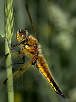 Four-spotted chaser (Libellula quadrimaculata) (2)