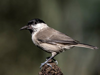 Marsh Tit (Parus palustris) (8)