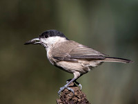 Marsh Tit (Parus palustris) (7)