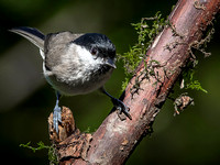 Marsh Tit (Parus palustris) (9)