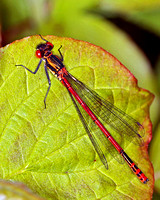Large Red Damselfly (Pyrrhosoma nymphula) (M) 3