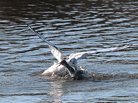 Black-Headed attacking a Redshank