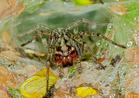 Labyrinth spider (Agelena labyrinthica) (2)