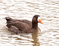 White-fronted Goose (Anser albifrons)