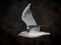 Black-Headed Gull (Larus ridibundus) (3)