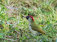 Green Woodpecker (Picus viridis) (2)