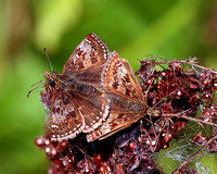 Dingy Skippers (Erynnis tages)