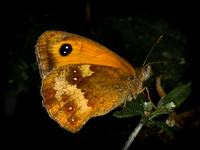 Gatekeeper (Maniola tithonius) (2)
