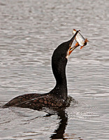 Cormorant (Phalacrocorax carbo) (6)