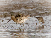 Curlew (Numenius arquata) (8)