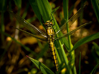Black-tailed Skimmer (Orthetrum cancellatum)
