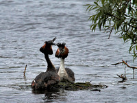 Great Crested (Podiceps cristatus) (7)
