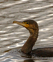 Cormorant (Phalacrocorax carbo) (14)