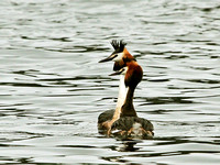 Great Crested (Podiceps cristatus) (5)