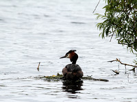 Great Crested (Podiceps cristatus) (3)
