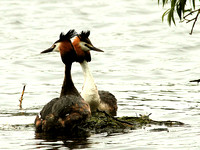 Great Crested (Podiceps cristatus) (8)