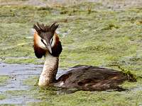 Great Crested Grebe (Podiceps cristatus) (12)
