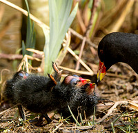 Moorhen and chick's
