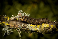 Caterpillar of the Ellephant Hawk-moth (Deilephila elpenor)