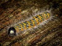 Caterpillar of the Buff-tip Moth (Phalera buccephala)