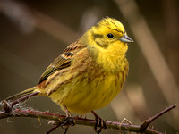 Yellowhammer (Emberiza citrinella) (12)