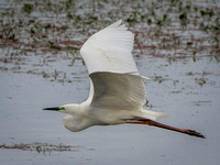 Great White Egret (Ardea alba) (2)