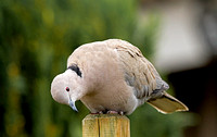 Collared Dove (Streptopelia decaocto) (5)
