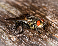 Flesh-Fly (Sarcophaga carnaria)